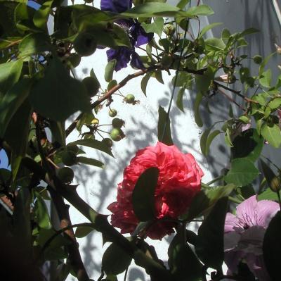 rose-clematis