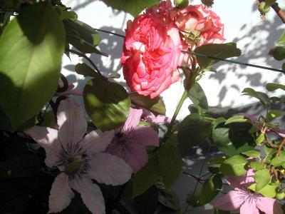 rose-clematis1