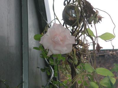roseoktober